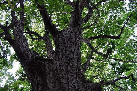 ミズナラ巨木