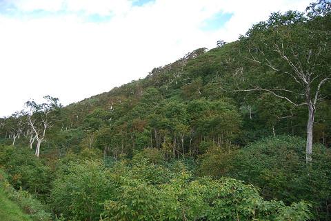 斜面のシラカバ