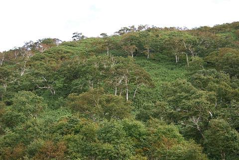 斜面のシラカバ1