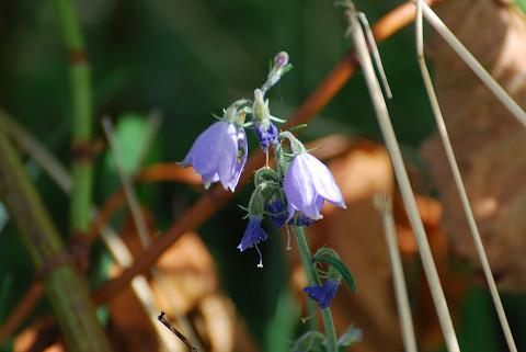 釣鐘型の花