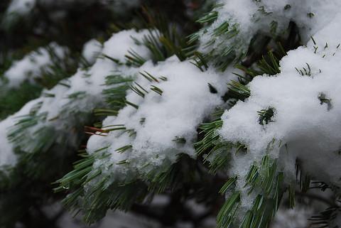 雪のハイマツ