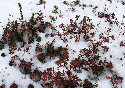 紅葉と雪2