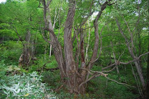 カツラの巨木