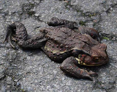 大きなヒキガエル
