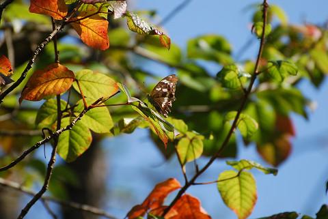 紅葉の中のイチモンジチョウ