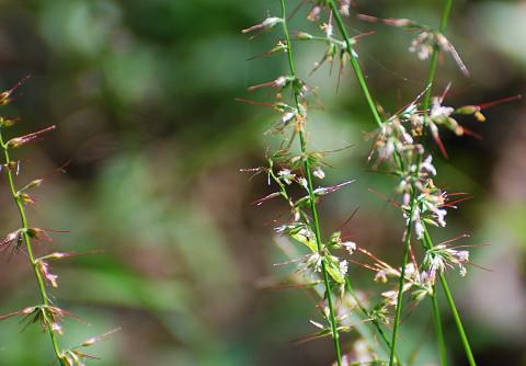 チジミグサの花?