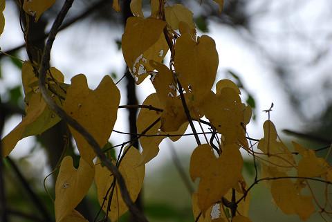 ヤマイモの黄色い葉