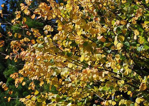 カツラノ黄葉4