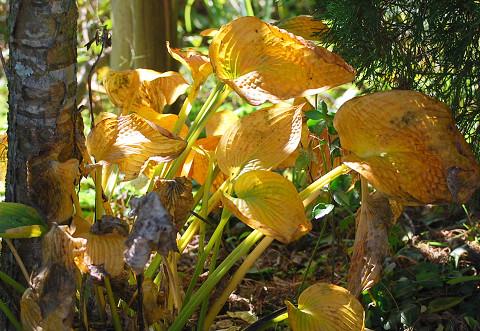 黄葉したオオバギボウシの葉