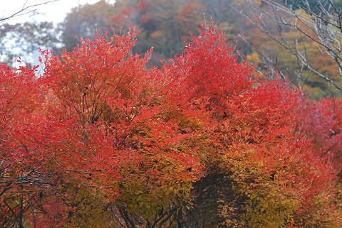 ツツジの紅葉1