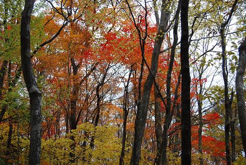 原生林の紅葉2