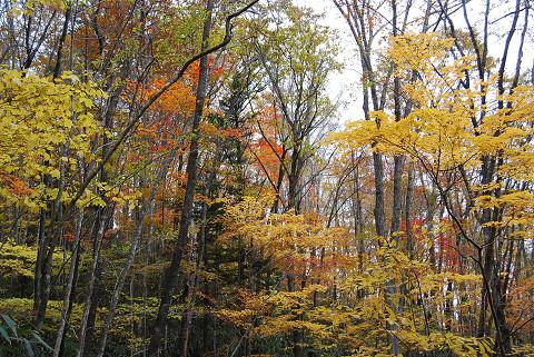 原生林の紅葉3