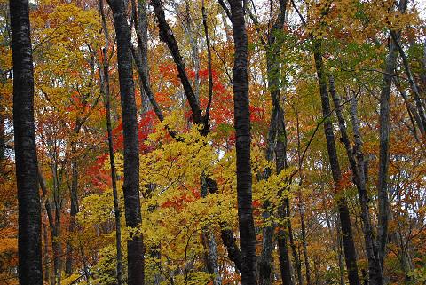 原生林の紅葉4
