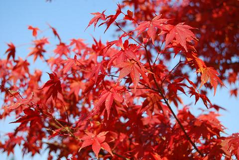 イロハモミジの紅葉は2