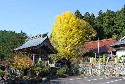 菅沼のお寺のイチョウ1