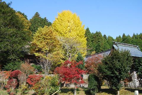 菅沼のお寺のイチョウ2