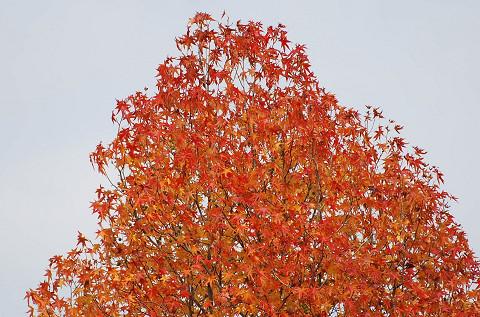 カエデの紅葉頂上