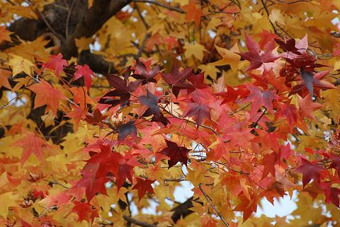 カエデの紅葉色とりどり