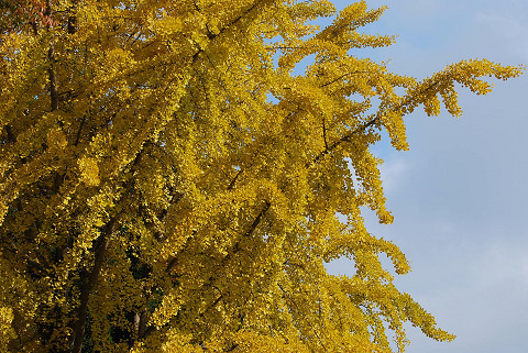 イチョウ黄葉はきれい