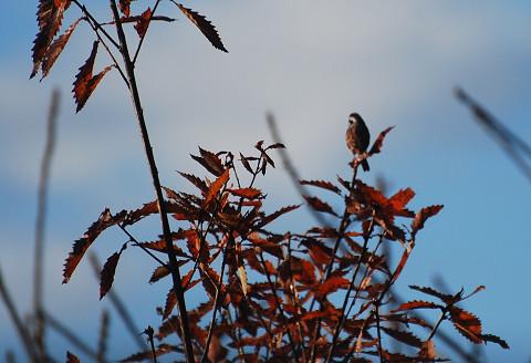 ミズナラの紅葉に小鳥