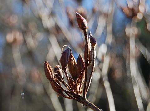 レンゲツツジの冬芽1
