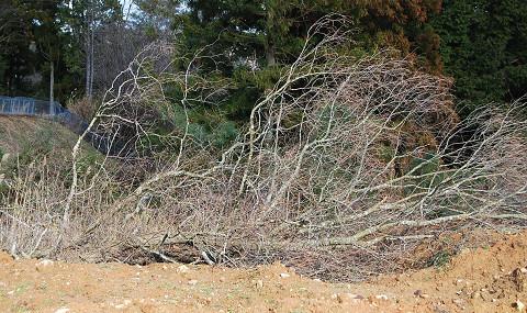 切り倒した大木3