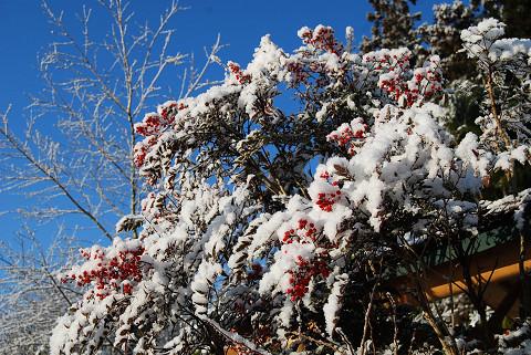 雪とナンテン1
