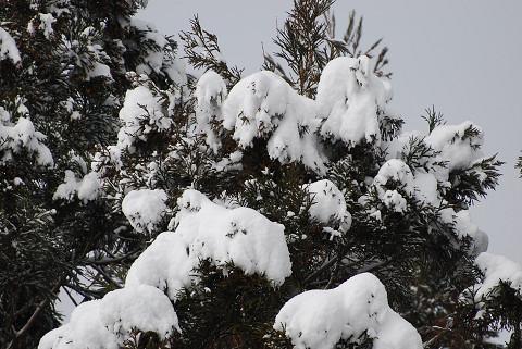 人工林の雪