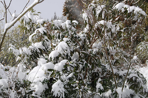 枝にかかる雪2