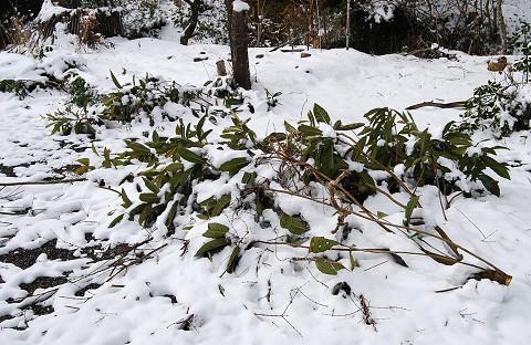 雪で埋もれた切り枝