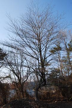 よい枝ぶりの木