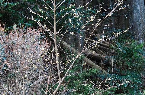 ロウバイが咲いた
