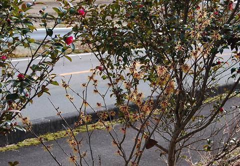 マンサクが咲いた