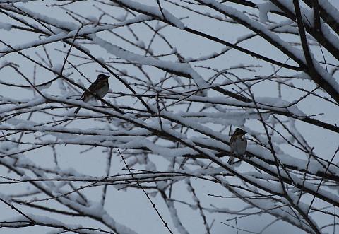 雪の中のホオジロ