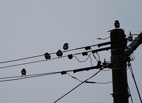 電線のムクドリの群れ