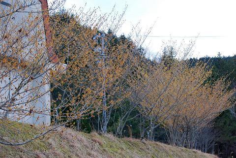 マンサクの並木
