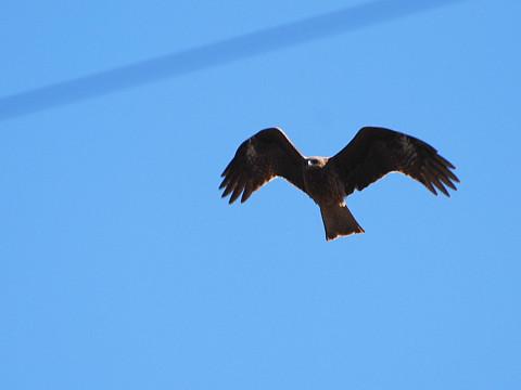 トビの飛翔1