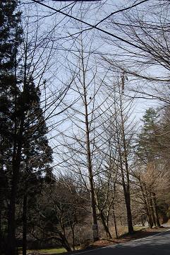 イチョウの並木