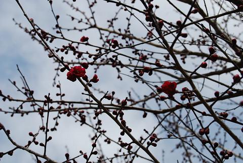 紅梅開花2