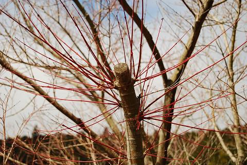 紅いイロハモミジの枝