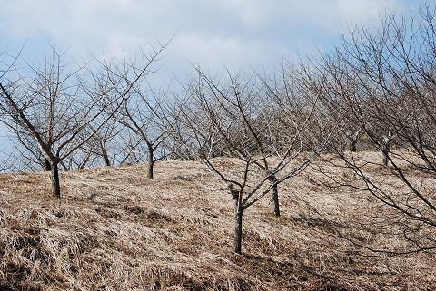 銀杏の栽培