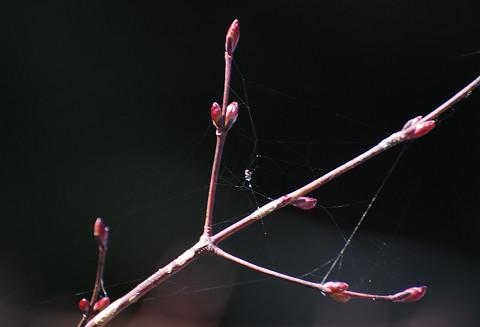 ウリカエデの新芽