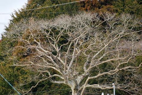 エノキの枝ぶり
