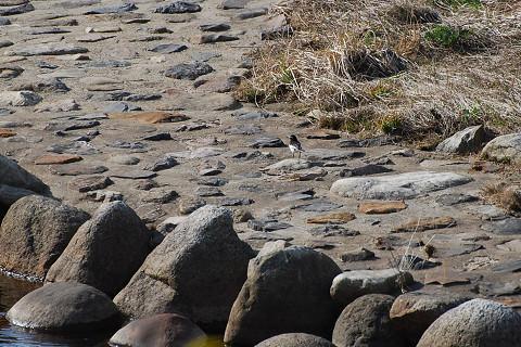 川原のセグロセキレイ