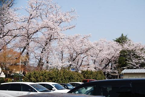 井田小の桜