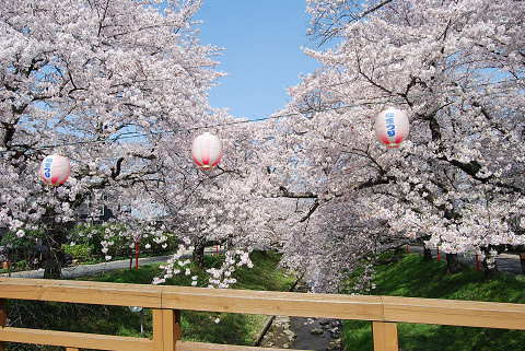 伊賀川堤の桜1