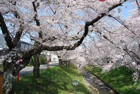 伊賀川堤の桜2
