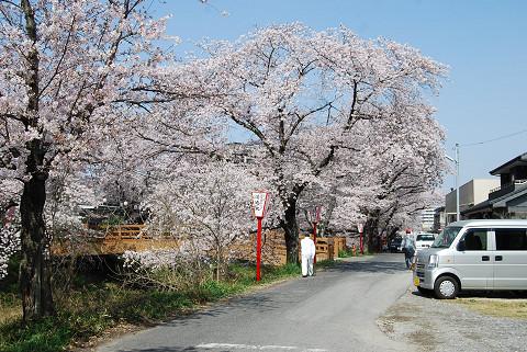 伊賀川堤の桜3