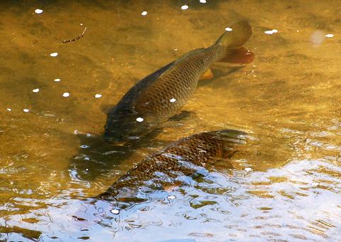 伊賀川の鯉