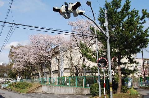 藤川小学校の桜